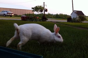 Maggie the bunny