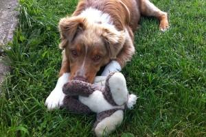 Rocco eats bunny