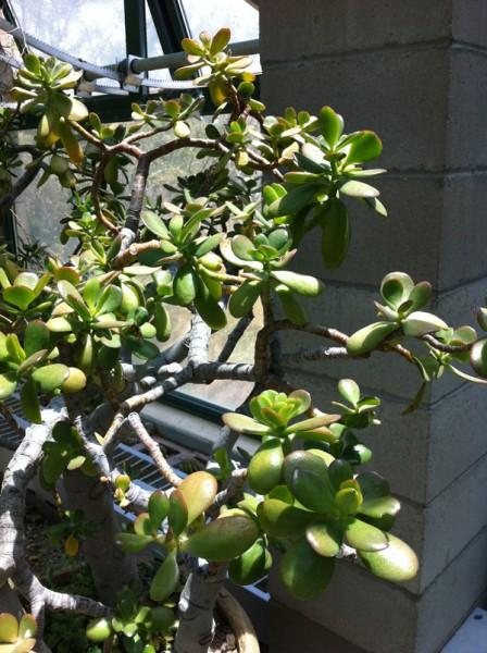 Jade-plant_w600